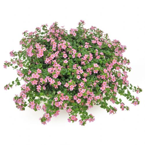 Bacopa Giant Pink